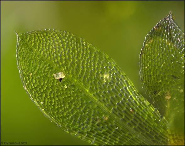 Moss leaves, 1.9 x 1.5 mm, 77 frames.